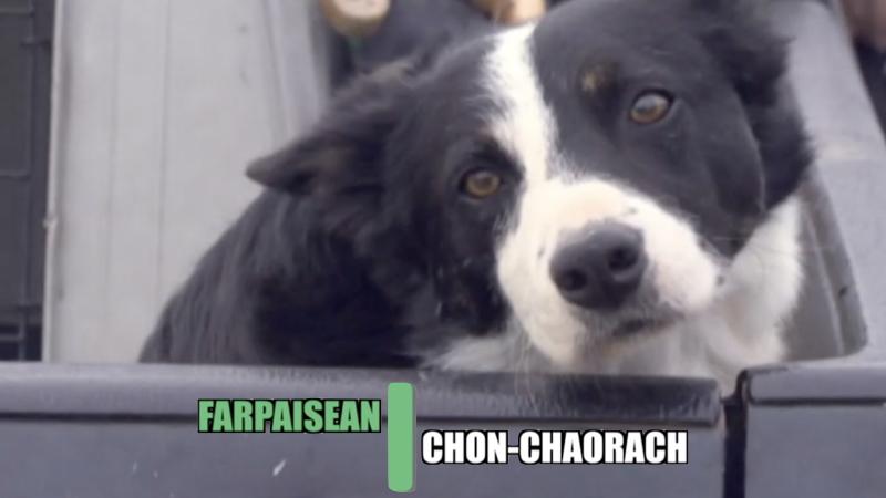 Farpaisean Chon-chaorach Sheepdog trials